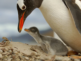This Gentoo Penguin Chick (Pygoscelis Papua) Is Only Few Days Old and the Egg Tooth Photographic Print by Solvin Zankl