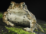 The Natterjack Toad (Epidalecalamita, Formerly Bufo Calamita) Photographic Print by Solvin Zankl