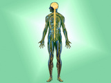 Illustration of the Nervous System in the Human Body Photographic Print by Carol & Mike Werner