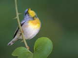 Northern Parula Vocalizing (Parula Americana), Dauphin Island, Alabama Photographic Print by Arthur Morris