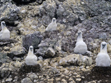 Shy Albatross (Diomedea Cauta) Chicks in Nests, Albatross Island, Tasmania, Australia Photographic Print by Dave Watts