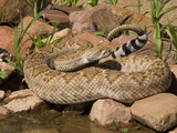 Western Diamondback Rattlesnake (Crotalus Atrox) at a Desert Waterhole, Western USA Photographic Print by Tom Walker