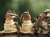 Honey Bees on Queen-Rearing Cells Photographic Print by Eric Tourneret