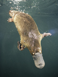 Platypus Diving (Ornithorhynchus Anatinus), Tasmania, Australia Photographic Print by Dave Watts