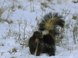 Striped Skunk (Mephitis Mephitis) with Tail Raised in Snow, USA Photographic Print by Dave Watts