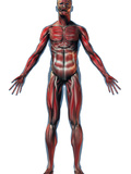 Human Male Figure Showing Musculature Photographic Print by Carol & Mike Werner
