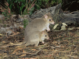 Tasmanian Bettong (Bettongia Gairmardi) Female and Joey, Tasmania, Australia Photographic Print by Dave Watts