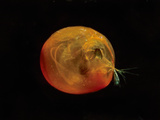 Giant Ostracod (Gigantocypris Agassizii), Pacific Ocean Lmina fotogrfica por David Wrobel