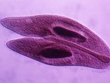 Paramecium Caudatum Ciliate Protozoa Conjugation or Sexual Reproduction, Phase Contrast, LM X150 Photographic Print by Arthur Siegelman
