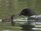 Common Loon Feeding a Fish to a Chick (Gavia Immer), Kenai, Alaska, USA Photographic Print by Tom Walker