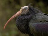 Northern Bald Ibis or Waldrapp (Geronticus Eremita) an Endangered Species, Captive Photographic Print by Dave Watts