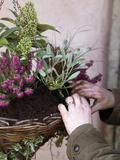 Gardener Preparing a Hanging Basket with Heather and Skimmia Flowers Photographic Print by Phillip Smith