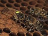 A Marked Queen Honey Bee Moves over Brood Cells with Other Bees Looking for Honey Photographic Print by Eric Tourneret