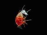 Hyperiid Amphipod, Crustacea, Class Malacostraca, Pacific Ocean Lmina fotogrfica por David Wrobel
