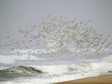 Sanderling (Calidris Alba) Flock in Flight over Ocean Waves, Long Island, New York, USA Photographie par Arthur Morris