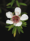 A Manuka or Tea Tree Flower (Leptospermum Scoparium) Photographic Print by Eric Tourneret