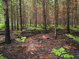 Re-Growth after Prescribed Burn on the Huron-Manistee National Forest, Michigan Photographic Print by Jeffrey Wickett