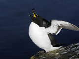 Razorbill Flapping Wings (Alca Torda), Iceland Reproduction photographique par Arthur Morris