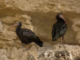 Bald Ibis or Waldrapp (Geronticus Eremita) an Endangered Species, Captive Photographic Print by Dave Watts