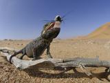Namaqua Chamaeleon Eating Insect Prey (Chamaeleo Namaquensis), Namib Desert, Namibia Photographic Print by Solvin Zankl