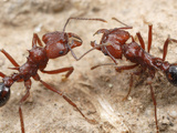 Two Leaf-Cutter Ant Workers (Acromyrmex Striatus) Photographic Print by Alex Wild