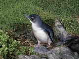 Little Penguin (Eudyptula Minor), Tasmania, Australia Photographic Print by Dave Watts