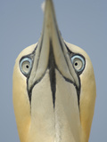 Close Up of the Head of a Northern Gannet During Sky Pointing Courtship Display, Scotland, UK Photographic Print by Solvin Zankl