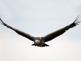 Nubian Vulture or Lappet-Faced Vulture in Flight (Torgos Tracheliotus), Kenya Photographic Print by Arthur Morris