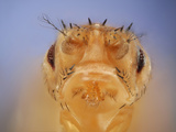 Stubble + Drop Mutant of the Fruit Fly (Drosophila Melanogaster) That Is Used as a Genetic Marker Photographic Print by Solvin Zankl