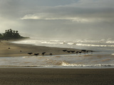 Black Vultures Waiting for Olive Ridley Sea Turtle Hatchlings to Emerge Photographie par Solvin Zankl