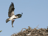 Male Osprey (Pandion Haliaetus) Bringing Fish to Nest, Flathead Lake, Montana, USA Photographic Print by Tom Walker