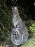 Red-Necked Wallaby (Macropus Rufogriseus) Female and Joey in Her Pouch, Tasmania, Australia Photographic Print by Dave Watts