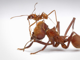 Major and Minor Workers of the Leafcutter Ant (Atta Cephalotes) Photographic Print by Alex Wild