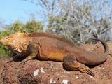 Galapagos Land Iguana (Conolophus Subcristatus), North Seymour Island, Galapagos Photographic Print by Richard Roscoe