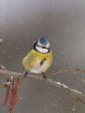 Blue Tit (Parus Caeruleus) on a Snowy Branch During a Snowstorm with its Feathers Fluffed Photographic Print by Dave Watts