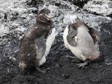 Galapagos Penguins (Spheniscus Mendiculus) Molting and Preening, Galapagos Islands Photographic Print by Richard Roscoe