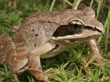 Wood Frog (Rana Sylvatica), Eastern and Northern North America Photographic Print by David Wrobel