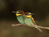 Bee-Eater (Merops Apiaster), Camargue, France Photographic Print by Dave Watts