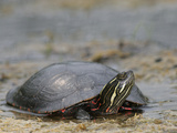 Painted Turtle (Chrysemys Picta) Photographic Print by Robert Servranckx