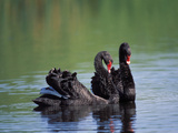 Black Swan (Cygnus Atratus) Pair in Courtship Behavior, Victoria, Australia Photographic Print by Dave Watts