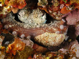 Common Octopus (Octopus Vulgaris), Mediterranean Sea, San Pietro Island, Sardinia Photographic Print by Solvin Zankl