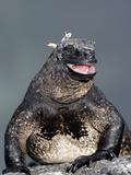 Marine Iguana (Amblyrhynchus Cristatus) with Mouth Open, Galapagos Photographic Print by Arthur Morris