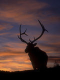 Male Elk (Cervus Canadensis), Yellowstone National Park, Wyoming, USA Photographic Print by Tom Walker