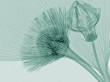 X-Ray of Ginkgo Leaf and Chives Flowers Photographic Print by George Taylor