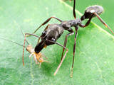 Trap-Jaw Ant (Odontomachus Bauri) with a Young Cricket it Has Caught, La Selva, Heredia Photographie par Alex Wild