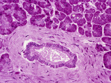 Cross Section of the Human Pancreatic Duct Lined by Simple Columnar Epithelium Photographic Print by Gladden Willis