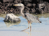 Great Blue Heron (Ardea Herodias), Santa Cruz, Galapagos Photographic Print by Richard Roscoe