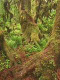 Spring in the Hall of Mosses, Hoh Rainforest, Olympic National Park, Washingt5On, USA Photographic Print by Geoffrey Schmid