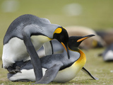 King Penguins (Aptenodytes Patagonicus) Mating, Falkland Islands Photographic Print by Solvin Zankl
