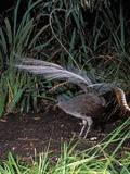 Superb Lyrebird Singing and Displaying (Menura Novaehollandiae), Healesville Sanctuary, Victoria Photographic Print by Dave Watts